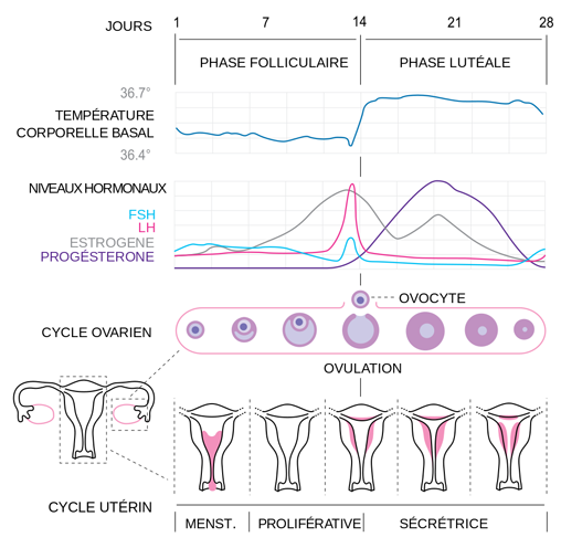 Calendrier Fertilite Cycle Et Periode D Ovulation